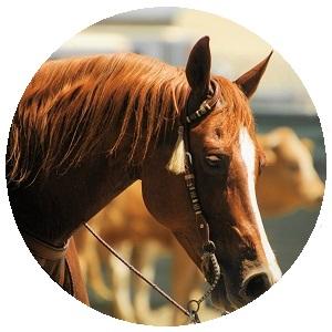 أحصنة