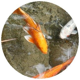 غذاء الاسماك