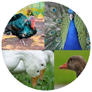 طيور دواجن وبيوضها (سمان ، بط ، إوز ، طاؤوس ، ديك رومي ، حجل حبشي ... إلخ)