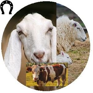 لوازم المواشي (ماعز، غنم، جمال ، أبقار ...)