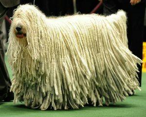 لن تصدق شكل كلب الكوموندور المرح ( كلب المكنسة)