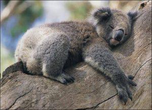 ما تريد معرفته عن حيوان الكوالا 🐨
